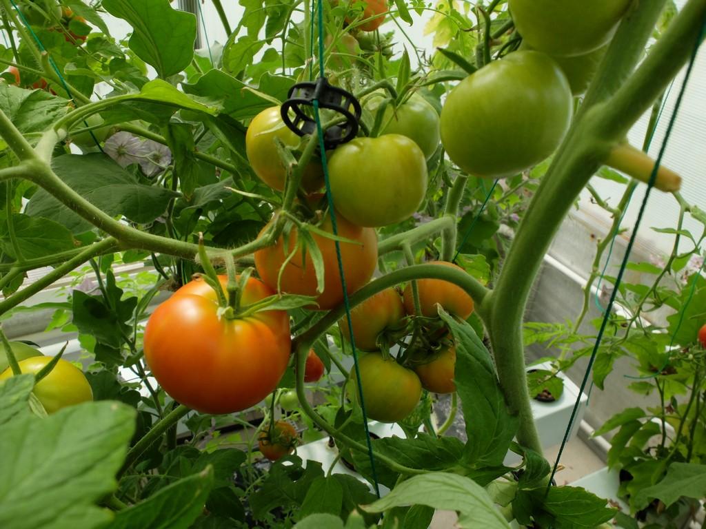 Гидропоника в домашних условиях томаты своими руками фото 732