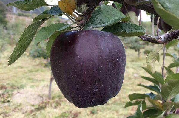 Яблоки сорта Черный алмаз