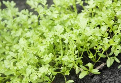 Как вырастить кресс-салат
