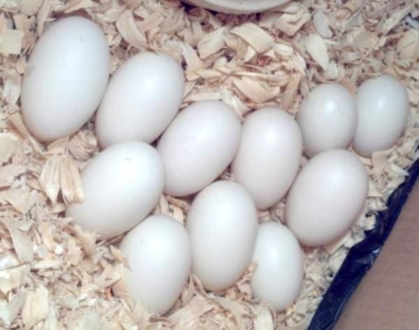 Яйца пекинской утки.jpg