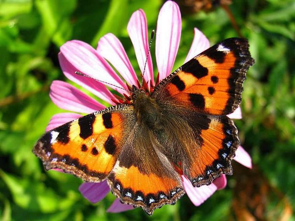 крапивница бабочки фото