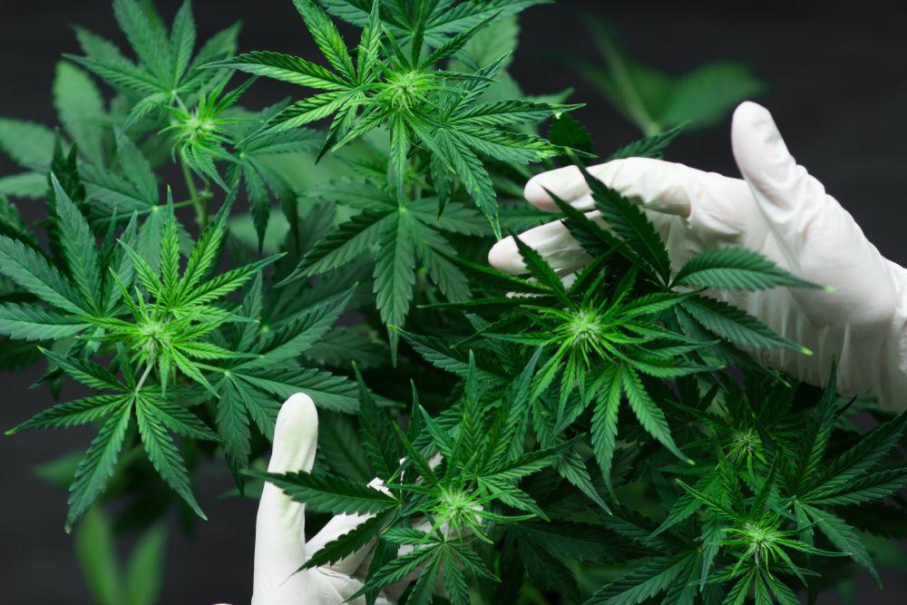 Употребление конопли плюсы психоз от марихуаны