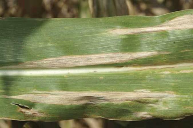 Гельминтоспориоз кукурузных всходов
