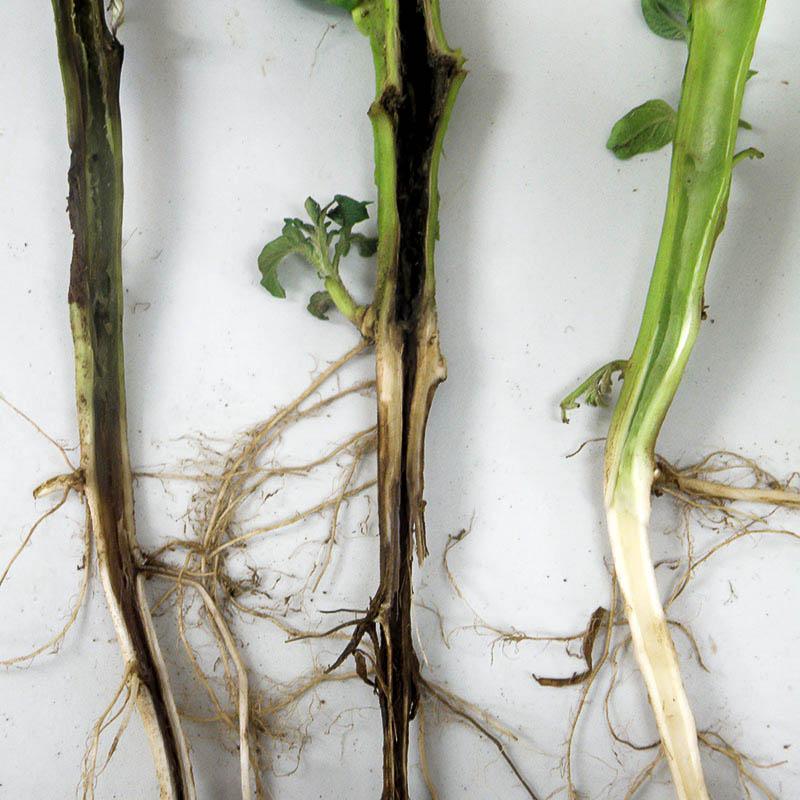 Растения рапса, пораженные черной ножкой