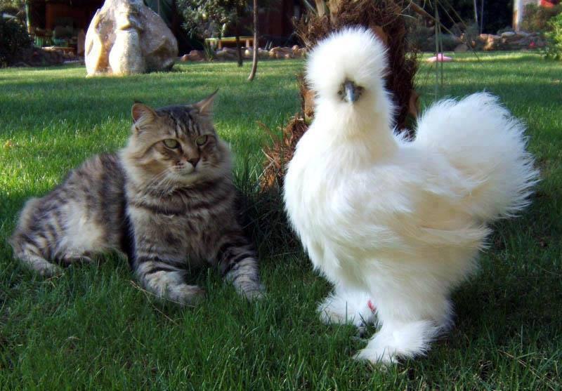Кот и китайская шелковая курица