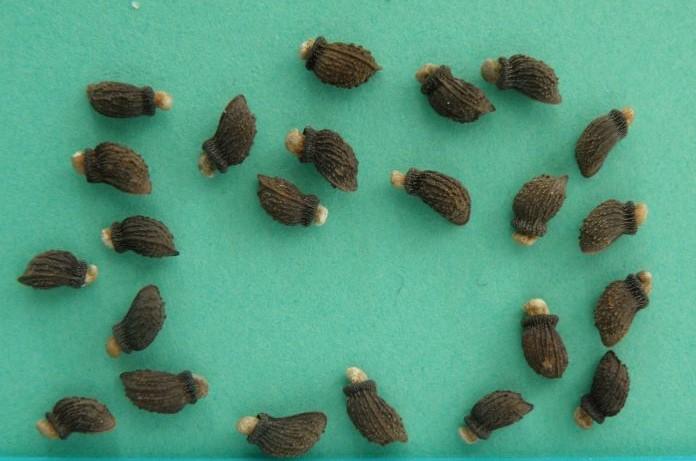Семена бораго