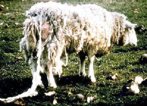 Чесотка у овцы