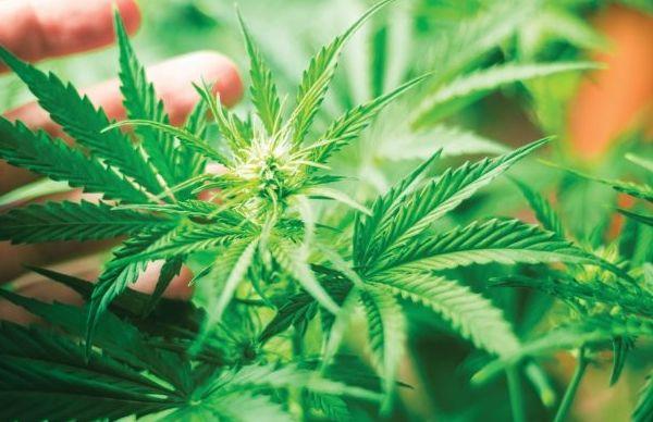 Плюсы и минусы марихуана марихуана рак яичка