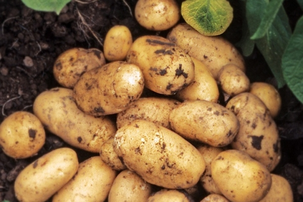 Сорт картофеля Адретта.jpg