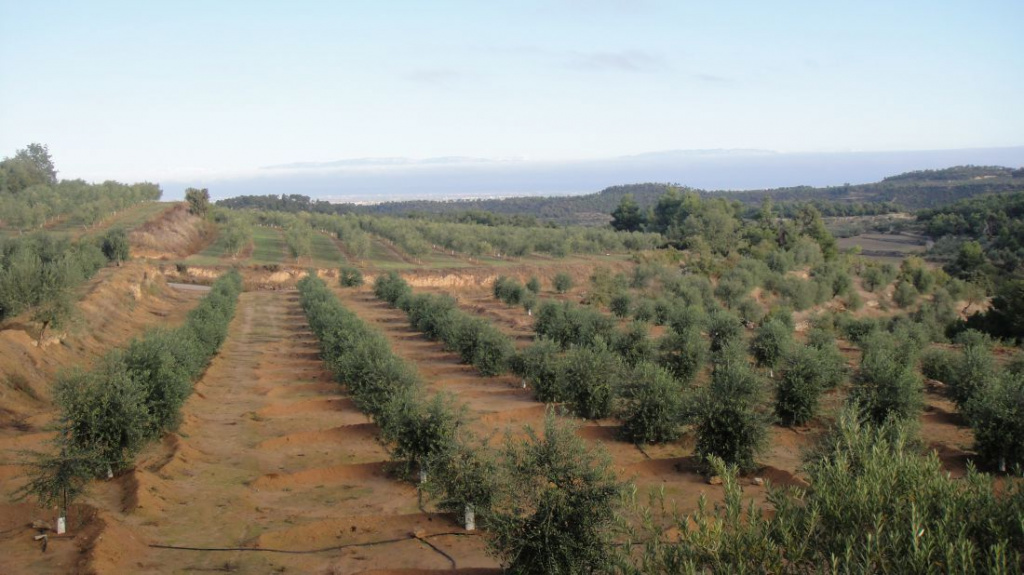 Лучшие сорта греческих оливок: посадка и уход