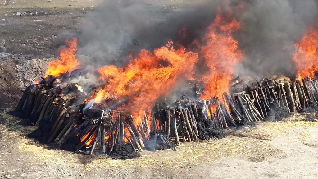 Сжигание зараженных АЧС свиней