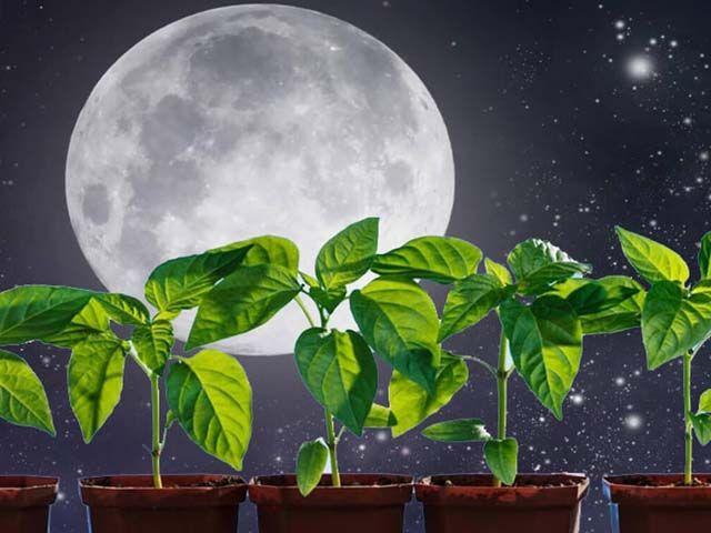 Как Луна влияет на растения