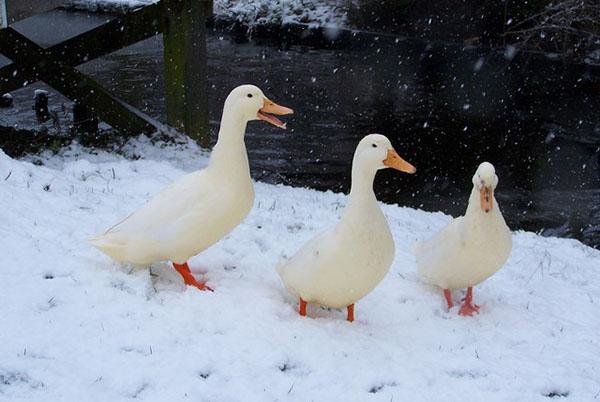 Содержание уток в зимнее время.jpg