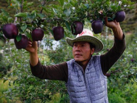 Черный алмаз - сорт яблок