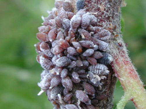 Красная тля Eriosoma lanigerum