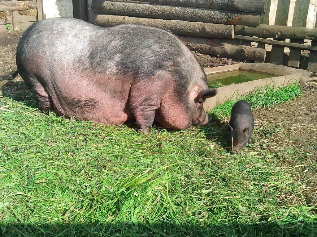 свинья травяная фото