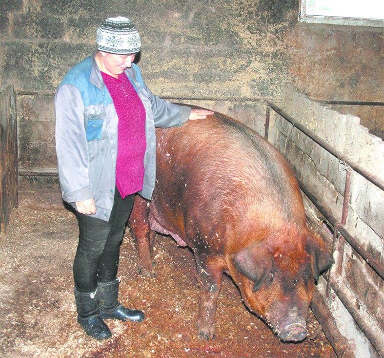 фотографии свиней дюрок выведена для