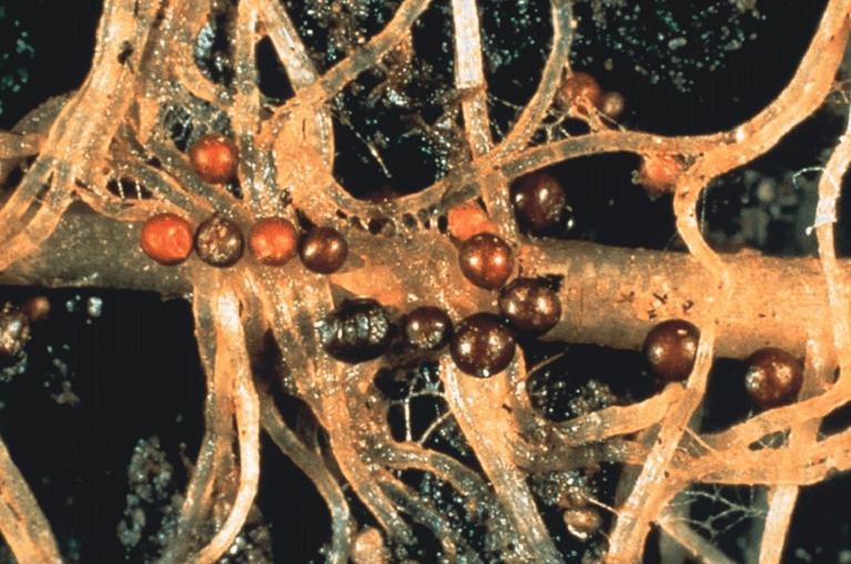 Картофельная золотистая нематода