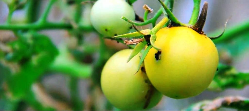 Тута абсолюта - томатная моль.jpg