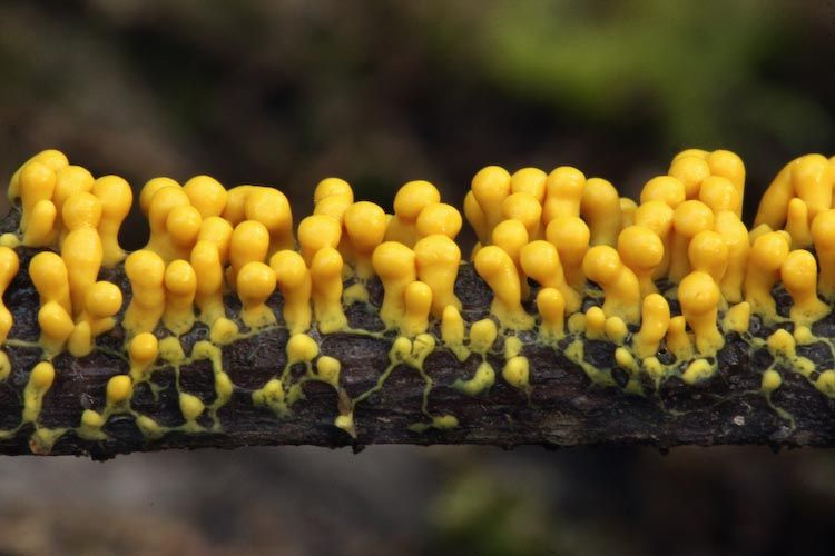 Гриб Physarum polycephalum