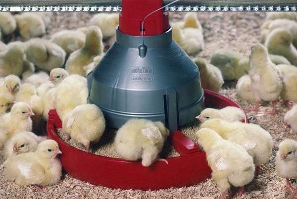Выхаживание маленьких цыплят - бройлеров.jpg
