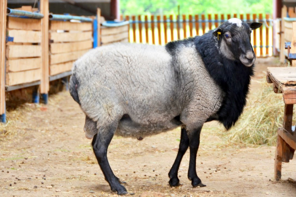 Романовская порода овец картинки