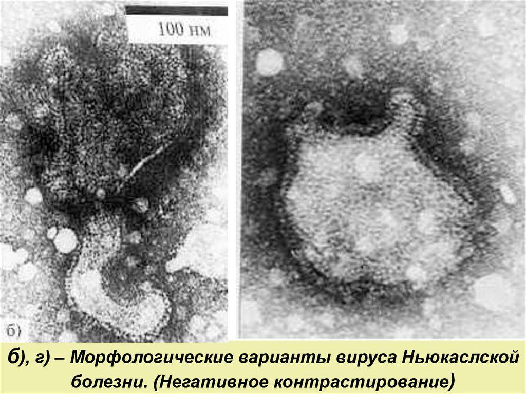 Околитический вирус болезни ньюкасла