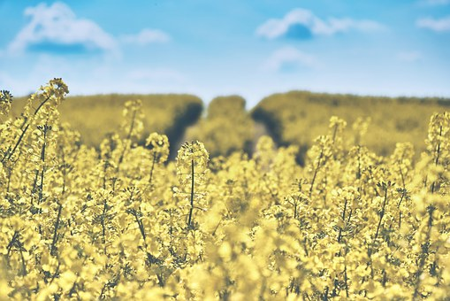 field-of-rapeseeds-1433380__340.jpg
