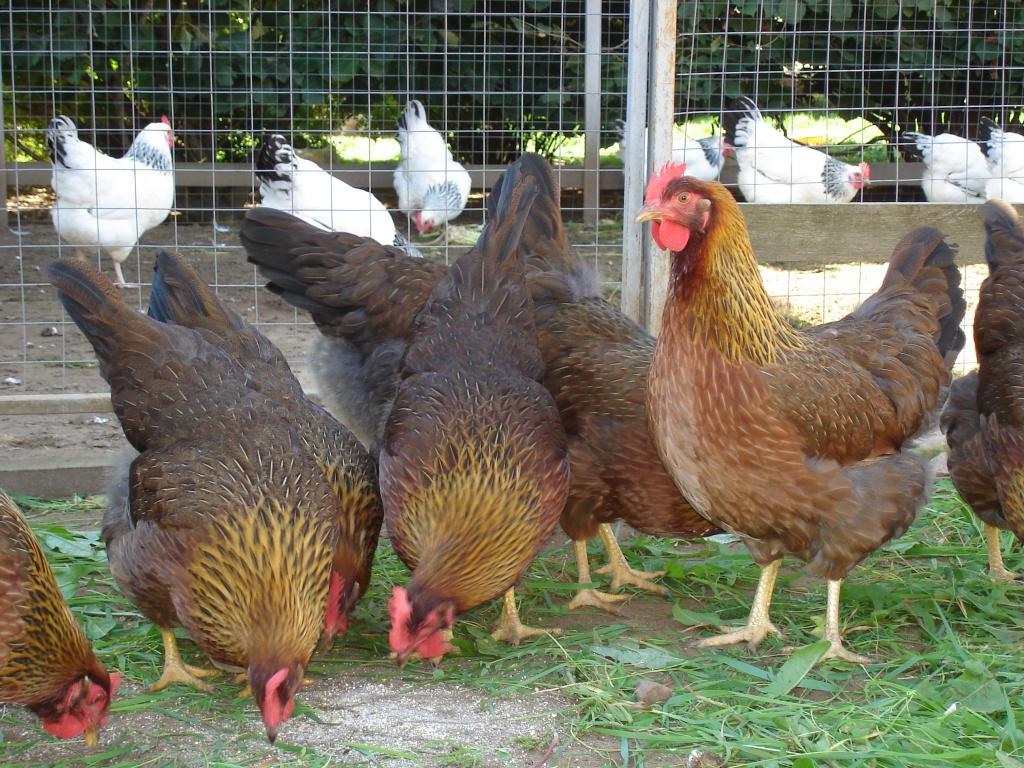 Welsummer  BackYard Chickens