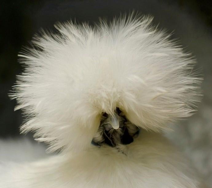 Курица китайской шелковой породы