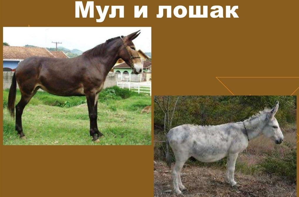 Мул и лошак