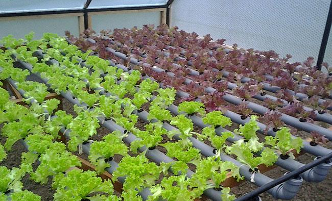 Выращивание пекинской капусты как бизнес 38