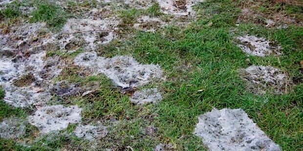 Фузариум на траве