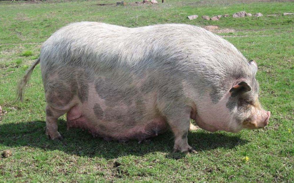 сихр появляется фото какого цвета бывают свинья место ряду чтимых