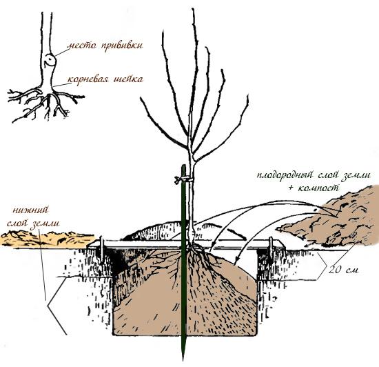 Как сажать привитое дерево 97