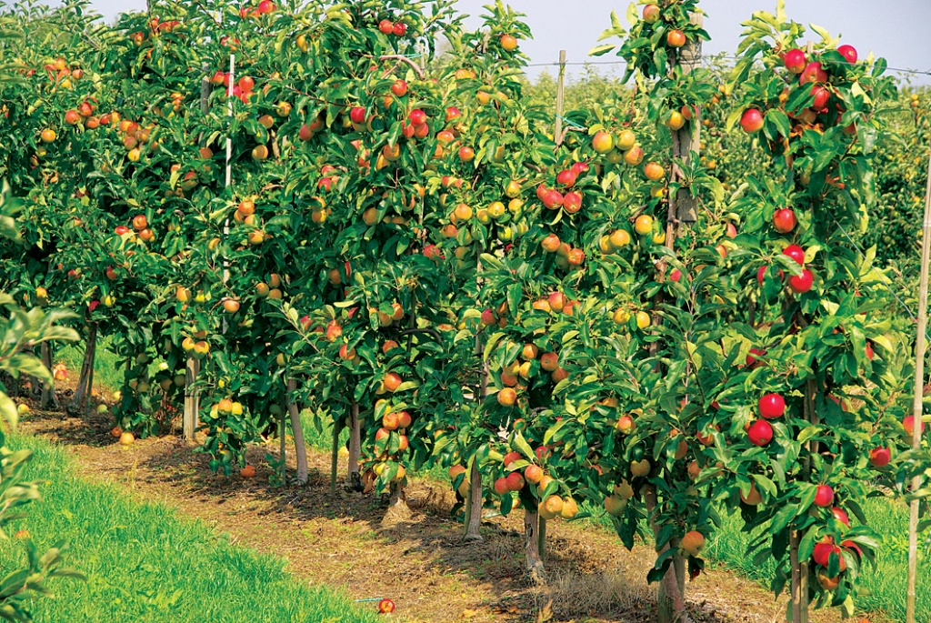 картинка фруктового сада без фруктов были организованы центр