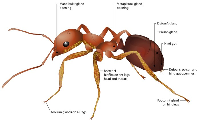 Залози в мурахи