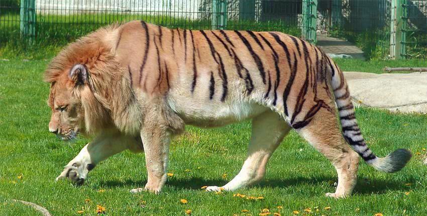 Тигролев