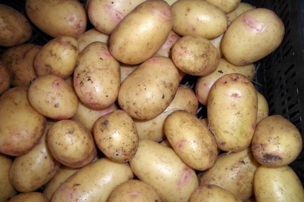 Картофель сорта Синеглазка.jpg