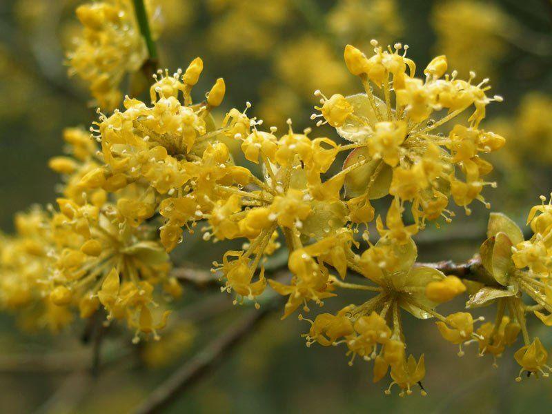 Кизил, цветение
