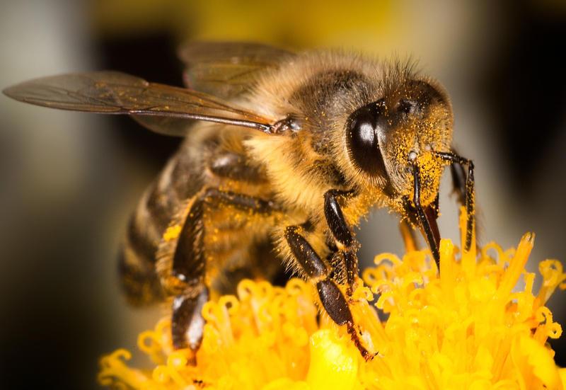 Пчела.jpg