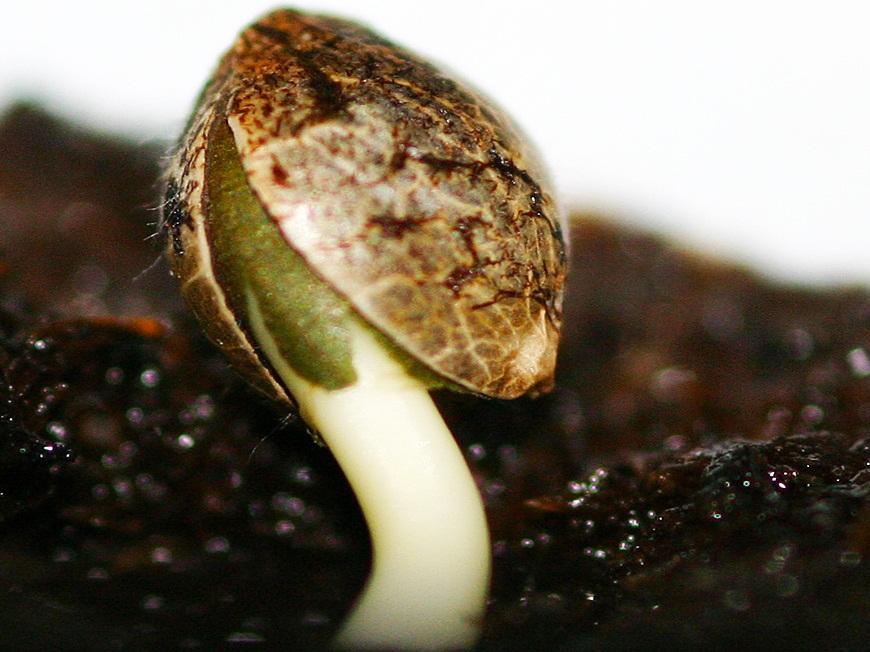 Через сколько прорастают семена марихуаны семя льна и конопляное