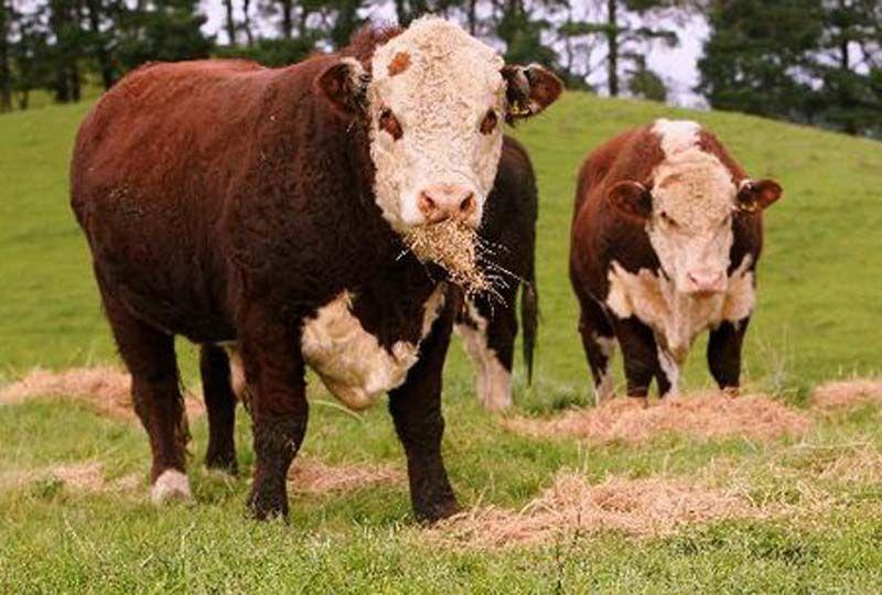 него порода бычков герефорд фото жители