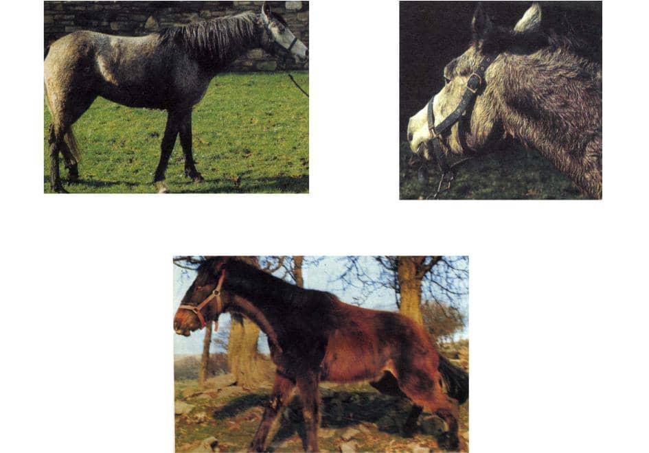 Нарушение координации у лошадей