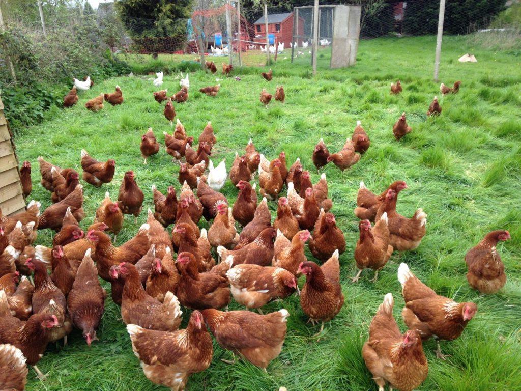 выращивание кур на мясо фильтре подумала