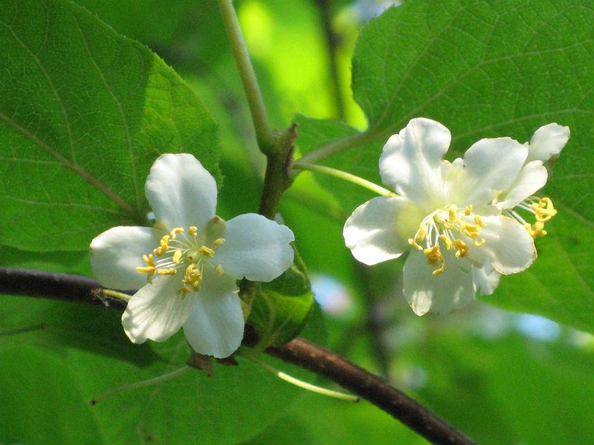 Женские и мужские цветы актинидии