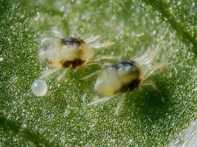 Самцы паутинного клеща
