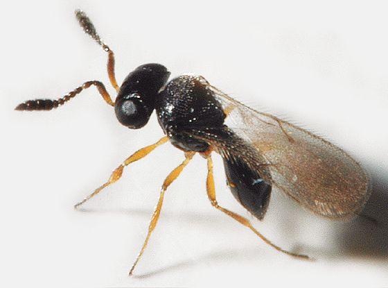 Насекомое-паразит. Наездник Telenomus