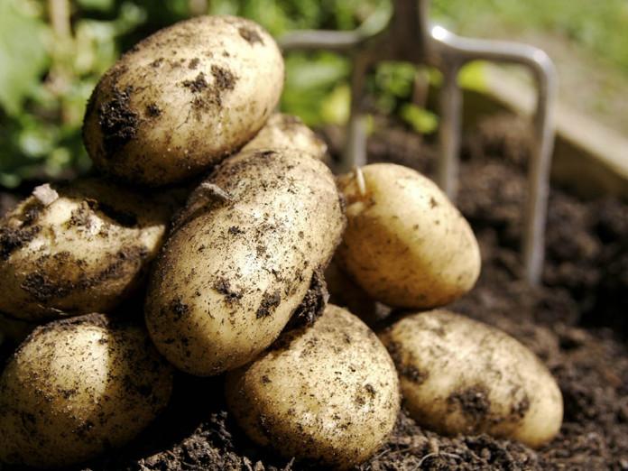 Разновидности картофеля.jpg