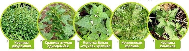 Как выращивать крапиву в домашних условиях?
